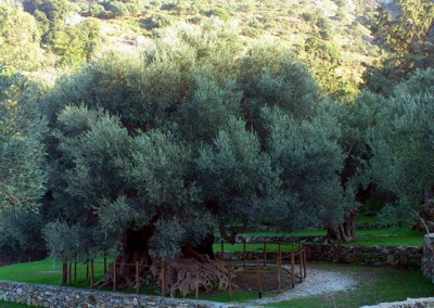 ancient olivetree